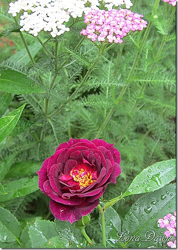 Rose_Midnight_Blue_Yarrow