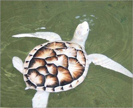 Half albino turtle