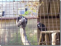 2011.11.14-014 vautours papes