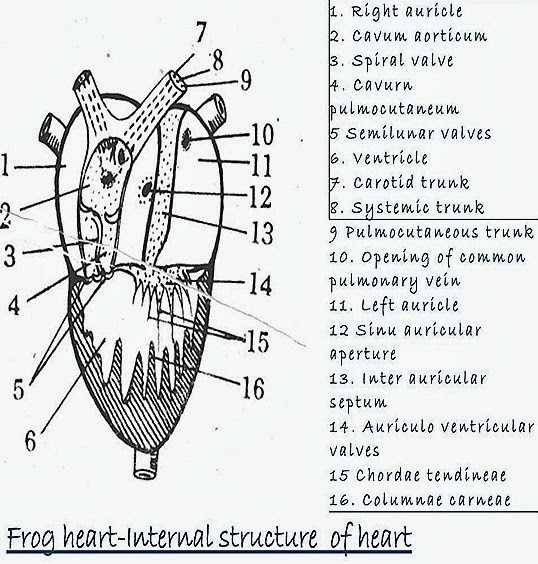FROG HEART STRUCTURE FISH HEART STRUCTURE