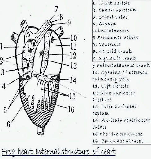conus arteriosus frog