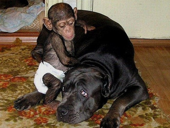 Chimpanzee Adopted By a Mastiff 07