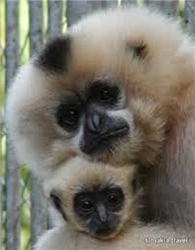 Amazing Pictures of Animals, Photo, Nature, Incredibel, Funny, Zoo, Gibbons, Hylobatidae, Primate, Mammals, Alex (11)