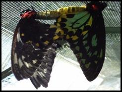 Australia, Kuranda Butterfly Park (19)