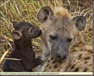 Amazing Pictures of Animals, Photo, Nature, Incredibel, Funny, Zoo, Hyena, Mammals, Alex (10)