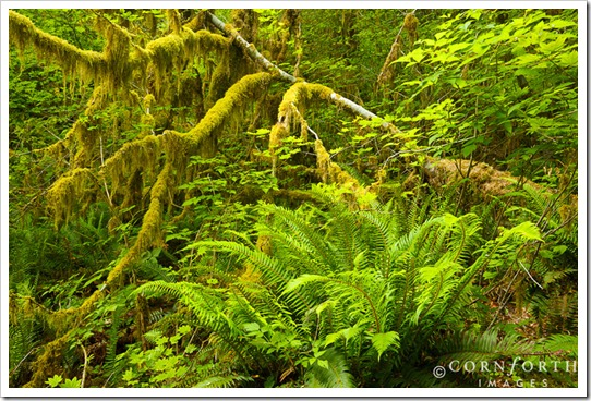 USA, Washington, Olympic NP, Moss covered vine maple (Acer circinatum) and ferns in the Hoh Rainforest