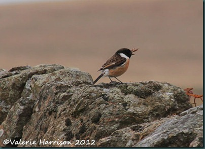 50-stonechat-and-emperor
