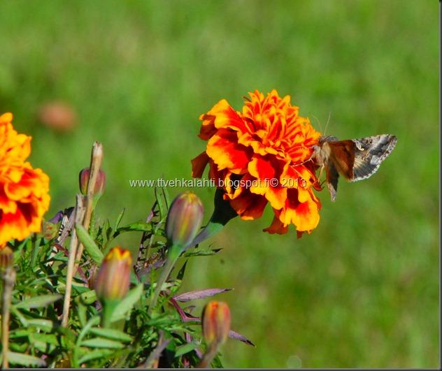 perhonen  sudenkorentoja 044