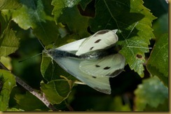 Small White, Pieris rapae: mating