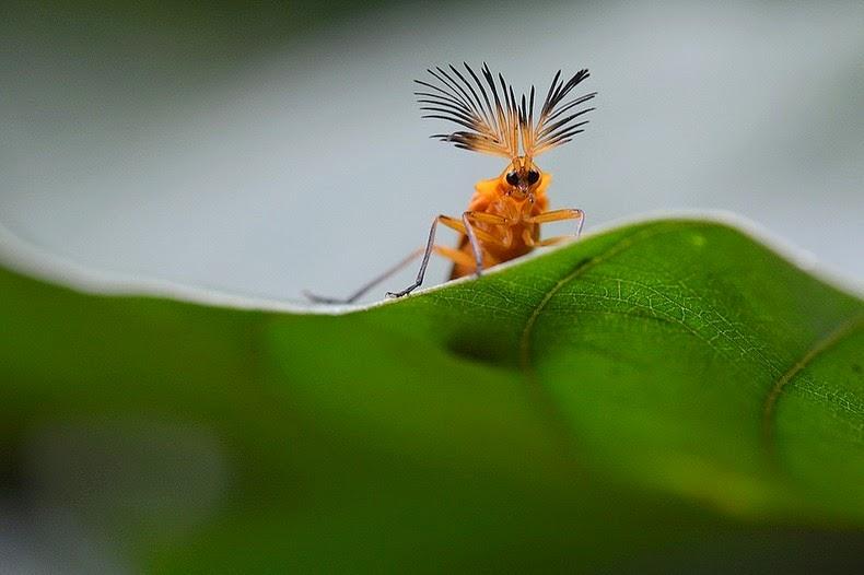 glowworm-beetle-3