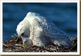 - Snowy Owl Beak D7K_9317 November 25, 2011 NIKON D7000
