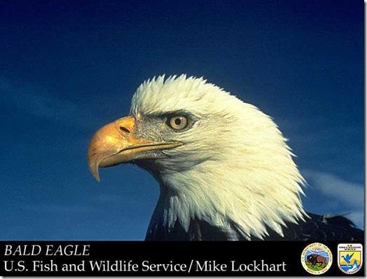 USFWS_Bald_Eagle1