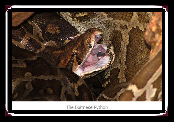 Burmese Python Snakes