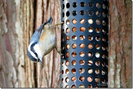 Very light Nuthatch