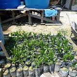 写真2 ロングハウスの裏で育てているオイルパームの苗(Rumah Majang)いくつかのプラスチック・バックは発芽していない。苗の育て方としてやや雑であるという印象を受けた。 / Photo2  Oil palm seedlings at longhouse (Rumah Majang): not all seeds successfully come out.