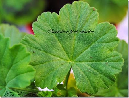Pelargonium 16 juni -14 055