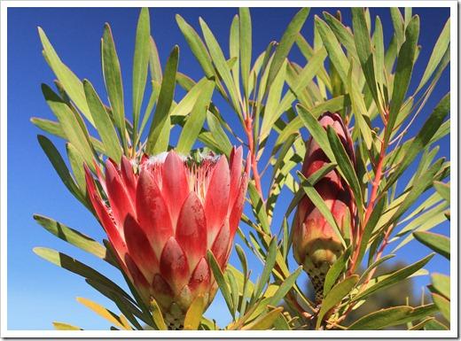 121027_UCSCArboretum_Protea-repens-Summer-Pink_18
