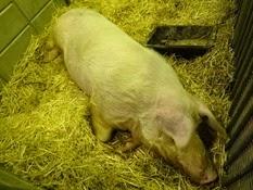 2015.02.26-042 Figaro porc landrace français