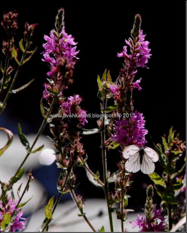 perhosia 074
