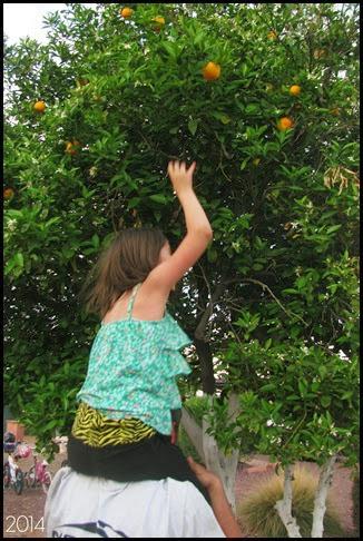 MHG orange picking