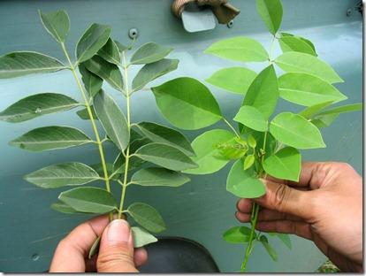 mol-daun-gamal-sebagai-pestisida-nabati