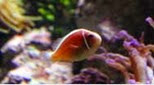 Biodiversité poisson clown à collier