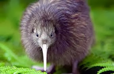 Amazing Pictures of Animals, Photo, Nature, Incredibel, Funny, Zoo, Apteryx, Kiwis, Bird, Aves, Alex (2)