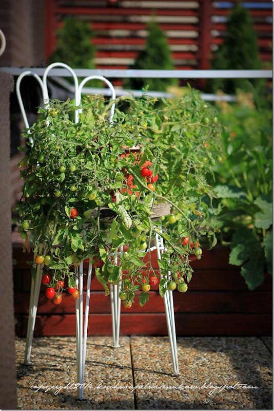 pomidory na tarasie (15)