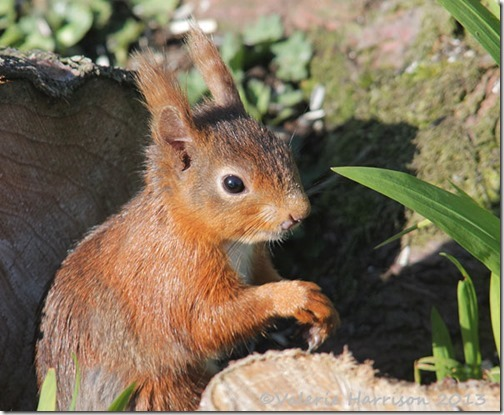 red-squirrel-4