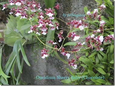 Oncidium Cherry Baby (Chocolate)