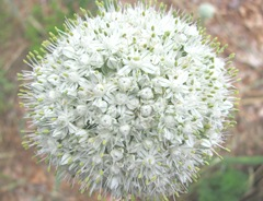 onion in bloom2