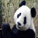 Giant Panda Sound Effects icon