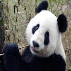 Giant Panda Sound Effects icon