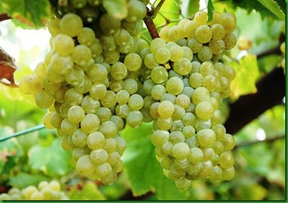 Uva Moscatel Branca