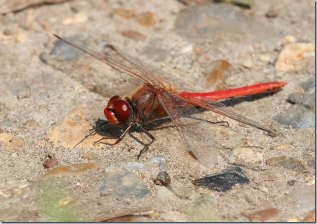 red-veined_darter2