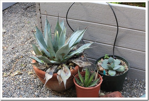 130503_Agave-parryi-with-flower-spike_01