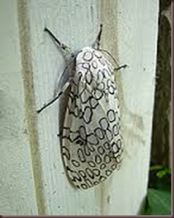 Amazing Pictures of Animals photo Nature exotic funny incredibel Zoo giant leopard moth, insect.Alex (1)