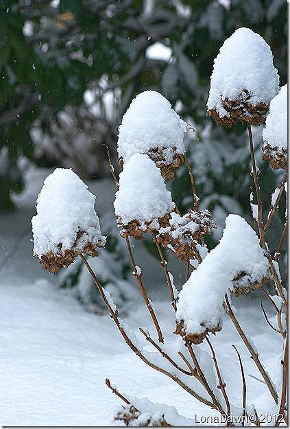 Hydrangea_Snow_Dec292012