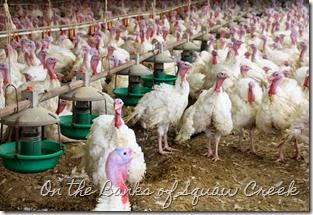 http://www.onthebanksofsquawcreek.com/2014/11/q-with-turkey-farmer.html
