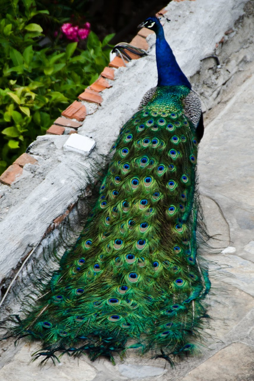 Peacock in Bodrum