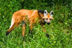 calviac loup à crinière