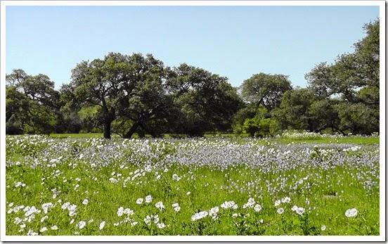 white-blue-flowers-river-bottom