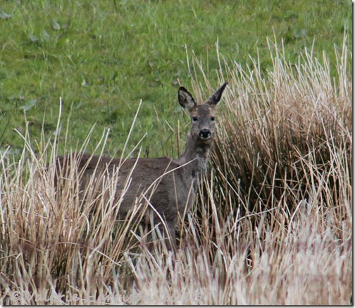 roe-deer