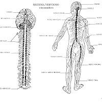 cuerpo humano sistema nervioso