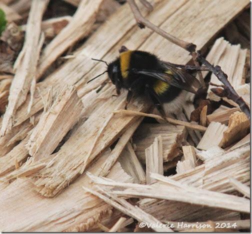 16-bumblebee