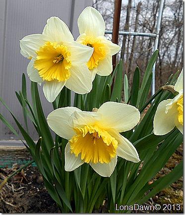 Daffodils_White