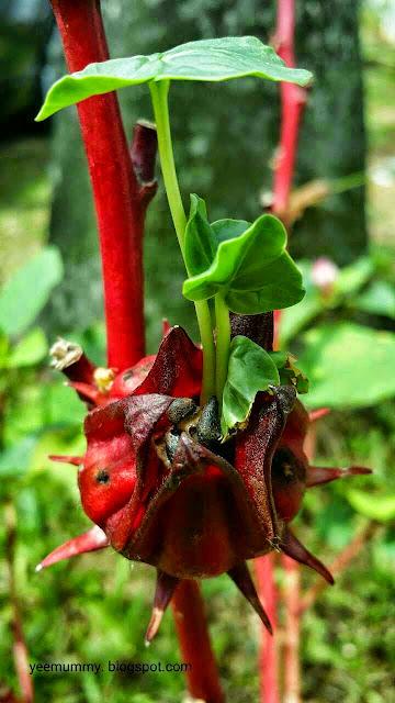 洛神花小苗 Roselle seedlings