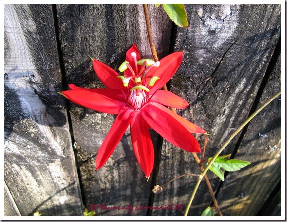 02-03-red-passion-flower