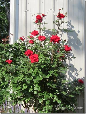 Crimson_Bouquet_Rosebush