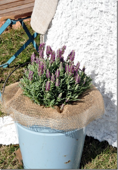 lavender in bucket